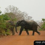 animaux Elephants en Afrique (Ghana - Mole Park) : Elephants traverse route