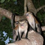 Est Tafi Atome 072 - 2 Monkeys sur arbre flash - Ghana